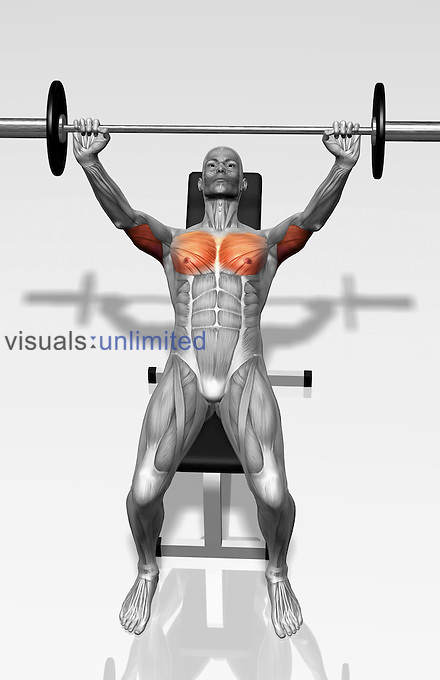 The muscles involved in the bench press incline exercise. The agonist (active) muscles of the body are highlighted. Royalty Free