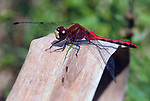Red Dragonfly in Boardwalk area of the Esopus Bend Nature Preserve, in Saugerties, NY, on Thursday, September 7, 2017. Photo by Jim Peppler. Copyright/Jim Peppler-2017.