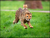 BNPS.co.uk (01202 558833)<br /> Pic: CalebHall/BNPS<br /> <br /> Full speed... Mum Wilma running at full speed.<br /> <br /> Two cheeky cheetah cubs have proven they were born to run - showing off their impressive speed for the first time.<br /> <br /> The six-month-old rare twins Poppy and Winston, the first cheetahs ever to be born at Longleat Safari Park in Wiltshire, have started developing the hunting skills they would need in the wild.<br /> <br /> Keepers at the wildlife park set up a speeding lure, similar to those used at greyhound races, to put the youngsters through their paces.
