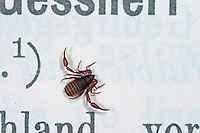 Bücherskorpion, Pseudoskorpion, Afterskorpion, Chelifer cancroides, book scorpion, scorpion des livres, chélifère cancroïde, Pseudoskorpione, Afterskorpione, Bücherskorpione, Pseudoscorpiones, Pseudoscorpionida, pseudoscorpion, false scorpion, book scorpion, pseudoscorpions