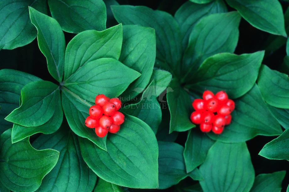 Zweedse kornoelje (Cornus suecisa), vruchten