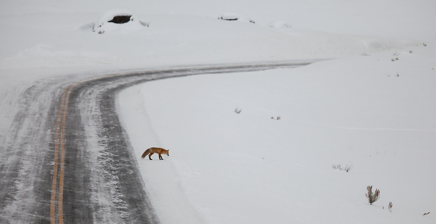 A red fox crosses Yellowstone National Park's north road in the winter.