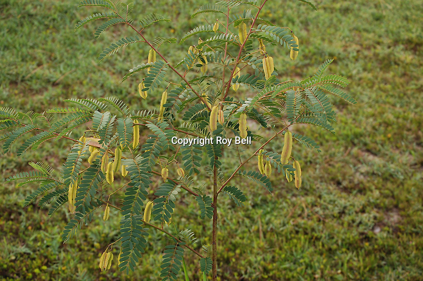 Mimosa like plant growing in the wetlands near Miflin Creek, Elberta Alabama. This plant blooms several times yearly with bright orange flowers. Seed pods are bean like and look triangular in cross section.