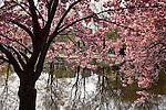 Ornamental crabapples bloom on the Charles River Esplanade, Boston, MA, USA