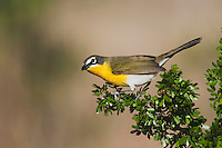 Yellow-breasted Chat (Icteria virens), adult on Blackbrush Acacia (Acacia rigidula), Sinton, Corpus Christi, Coastal Bend, Texas, USA