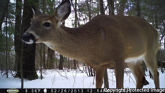 Deer, Lyons-Cutler Property, Sudbury, MA