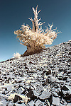 Color infrared image of old bristlecone pine on the White Mountain near Bishop, CA