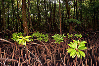Mangrove swamp in Yap Micronesia, with new shoots sprauting