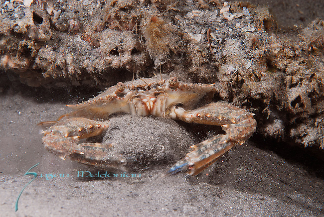 Blotched Swimming Crab, collects sand into a ball as a defense mechanism, Portunus spinimanus