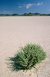A bush grows in the dry mud of Lunar Lake near Lunar Crater, Nev.