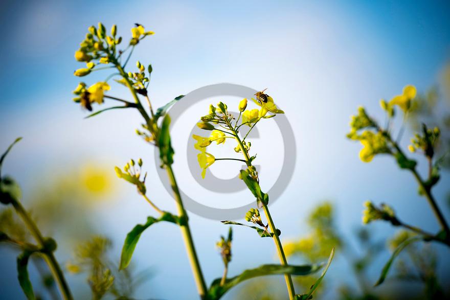 26/04/17 - ROSENTHAL - BASSE SAXE - ALLEMAGNE - Reportage COLZA. Champs de colza semence de Christoph HABERMANN. Pollinisation par les abeilles - Photo Jerome CHABANNE