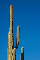 Saguaro, Carnegiea gigantea, with woodpecker nesting holes. Saguaro National Park, Arizona