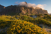 Flower covered sand dunes at Horseid beach, Moskenesøy, Lofoten Islands, Norway
