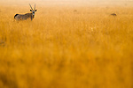 Oryx (Oryx gazella) in grassland, Benfontein Nature Reserve, South Africa