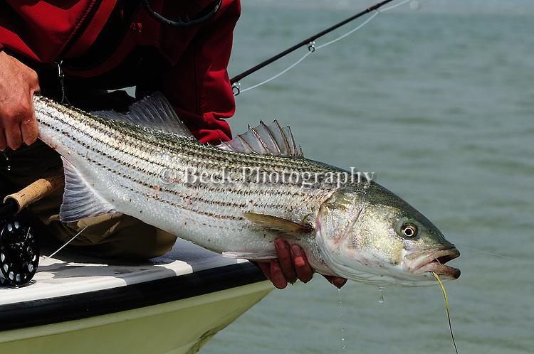 Cape Cod Striped Bass