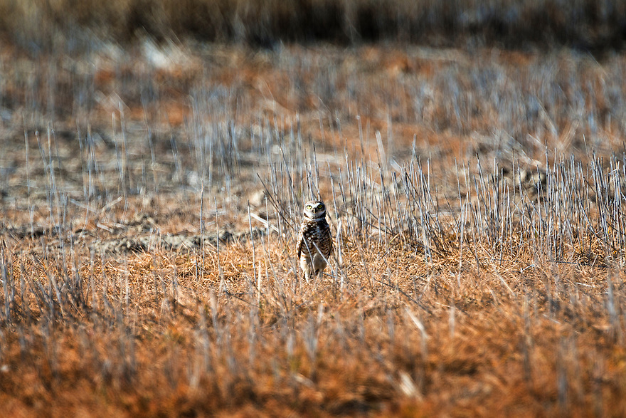A burrowing owl stands watch in a wheat field near Three Forks, Montana.