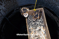 01110-00403 Common Barn-Owl (Tyto alba) nestlings in box in silo Marion Co.   IL