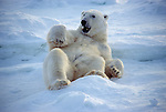 A polar bear scratches its back on a block of ice at Hudson Bay, Manitoba, Canada.