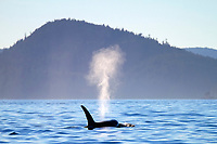 killer whale or orca, Orcinus orca, transient orca, spouting, blowing, Gulf Islands, British Columbia, Canada, Pacific Ocean