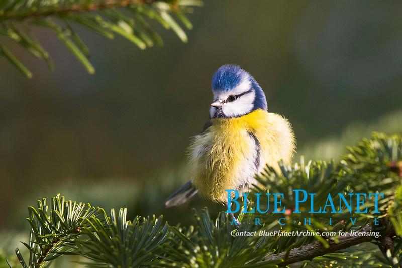 Blue tit (Parus caeruleus), sits on spruce branch, Emsland, Lower Saxony, Germany, Europe