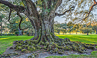 One of the many of the 300 year old live oak trees at the Oak Alley Plantation.
