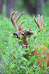 White-tailed Deer Buck in Velvet