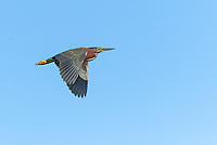 Green Heron in flight with wings in downstroke, against bright blue sky