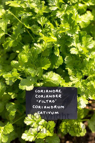 Coriander herb, Coriandrum sativum, in vegetable garden at Raymond Blanc hotel in Oxfordshire UK