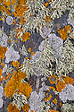 Coastal lichens growing on cliff face including Sea Ivory {Ramalina siliquosa}, Black Shields {Tephromela atra} and the orange Xanthoria aureola. Near Lizard Point, Cornwall, UK. September.
