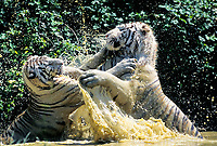 white tiger, a pigmentation variant of the Bengal tiger, Panthera tigris tigris, endangered species, adult, fighting, India, Asia