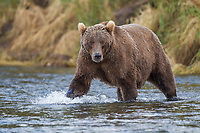 Brown bear wades in the waters of the Brooks River, Katmai National Park, southwest, Alaska.