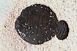 Achirus lineatus, Lined sole, juvenile, Cozumel, Mexico