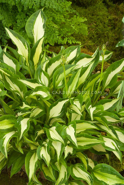 Hosta minor from Korea