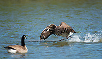 A Canada Goose, Branta canadensis, charges at another goose in the Riparian Preserve at Water Ranch, Gilbert, Arizona