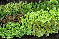 HS21-032x  Lettuce - mixed varieties - Vulcan, Romulus, Red Salad Bowl, Waldmanns Dark Green