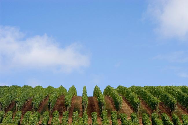 Vineyard in Willamette valley of Oregon