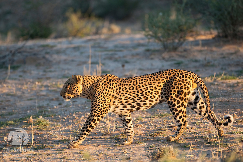 Male leopard walking in kalahari