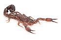Scorpion {Scorpiones} photographed on white background, tropical rainforest, Andasibe-Mantadia National Park, Madagascar.