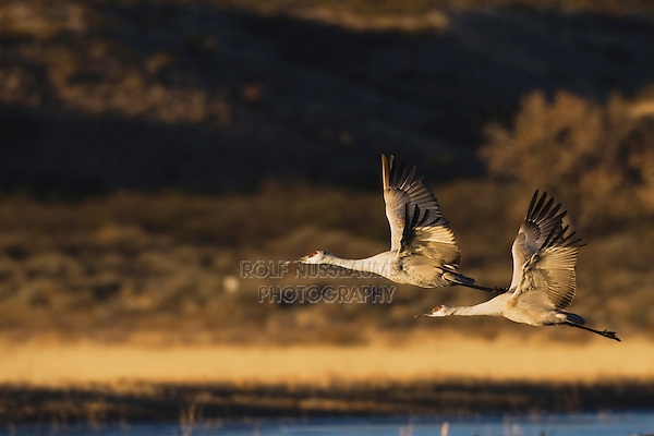 Sandhill Crane (Grus canadensis), pair in flight, Bosque del Apache National Wildlife Refuge , New Mexico, USA,