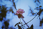 Horizontal picture of a pink dying rose over a blue background.