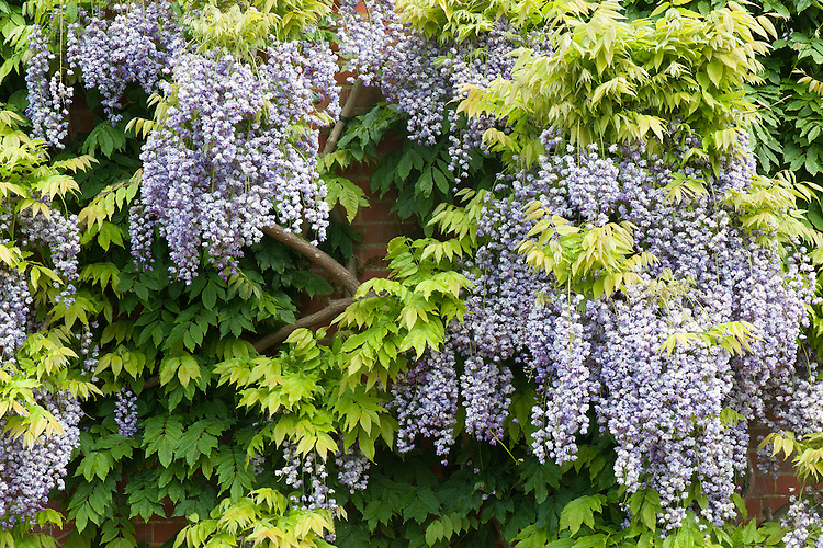 Wisteria floribunda 'Yae-kokuryu', mid May. Also known as Wisteria 'Black Dragon'.