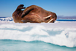 Norway, Svalbard, walrus on ice floe, Odobenus rosmarus