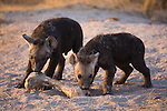 Spotted hyena (Crocuta crocuta) pups with large bone near den entrance, Moremi Game Reserve, Okavango Delta, Botswana