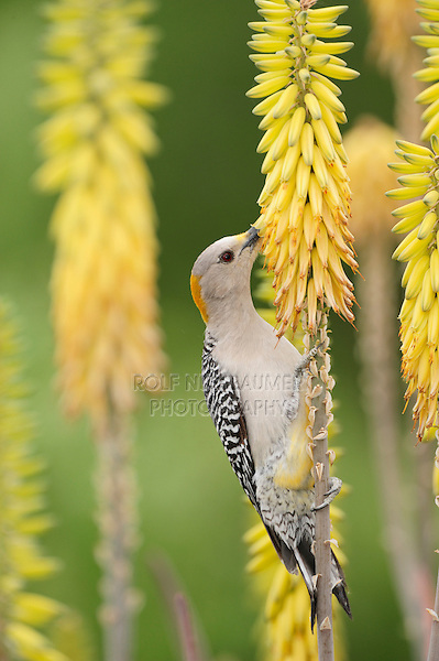 Golden-fronted Woodpecker (Melanerpes aurifrons), female feeding from Torch Lily, Red Hot Poker (Kniphofia sp.), Laredo, Webb County, South Texas, USA