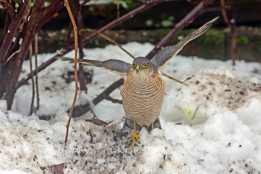 Sperber, Männchen, Terzel, am Vogelhäuschen, versucht dort Singvögel zu erbeuten, Accipiter nisus, northern sparrowhawk, sparrow hawk, male, Épervier d'Europe