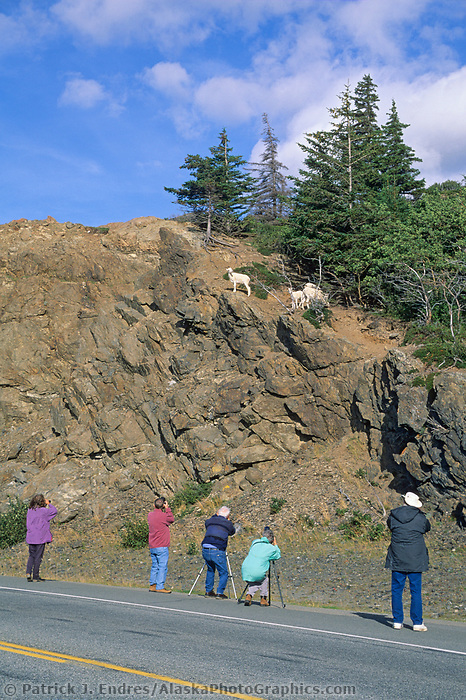Dall sheep ewe lambs, Seward Highway, Alaska.