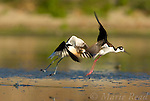 American Avocet (Recurvirostra americana) chasing Black-necked Stilt (Himantopus mexicanus), Orange County, California, USA