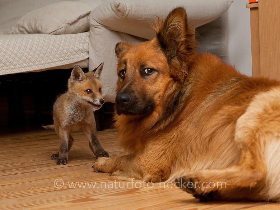 Junger Fuchs, Fuchswelpe, Fuchs-Welpe, Welpe spielt mit einem Haushund, verwaistes Fuchsjunges wird von Hand aufgezogen, Aufzucht eines Wildtieres, Rotfuchs, Rot-Fuchs, Vulpes vulpes, red fox