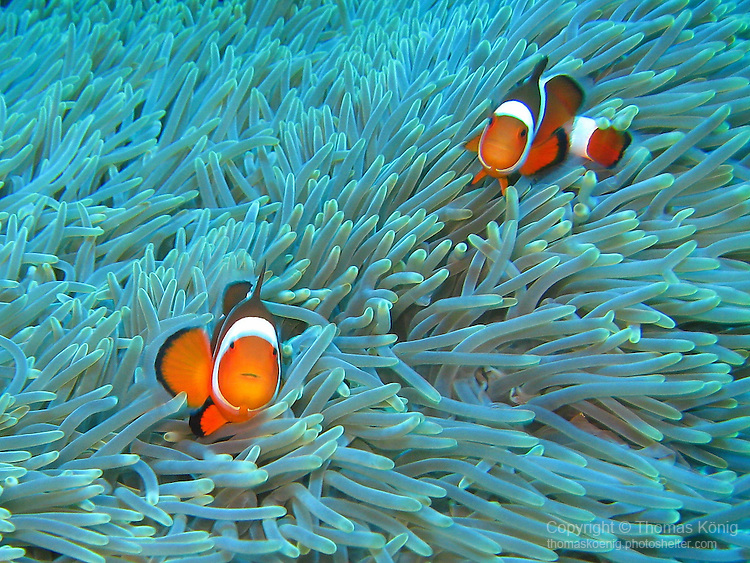 Qixingyan ('Seven Star Rock'), Taiwan -- A pair of clownfish (false clown anemonefish, Amphiprion ocellaris) in their anemone.
