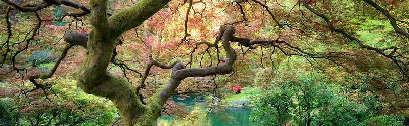 Japanese Maple tree with new growth. Portland Japanese Garden, Oregon